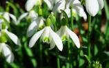 Gardening with James Vaughan: The first snowdrop