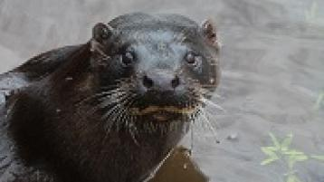 An otter pictured on the River Suir some years ago