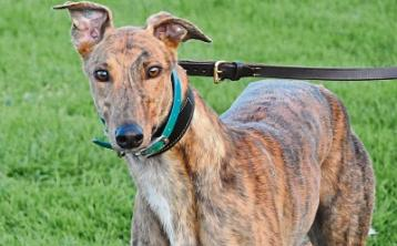 Three dogs will fly the flag for Tipperary in Irish Greyhound Derby final