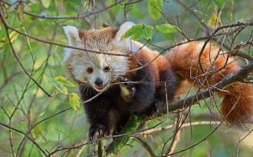 First Glimpse of Red Panda Baby at Fota Wildlife Park